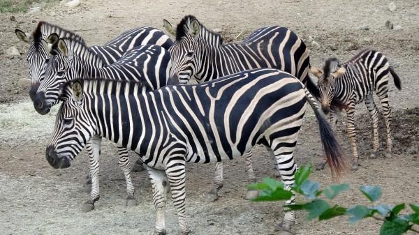 研究顯示,一些部落土著身上有著「條紋」圖樣的裝飾,同樣也具有類似斑馬條紋防蟲的效果。 (資料照,台北市立動物園提供)