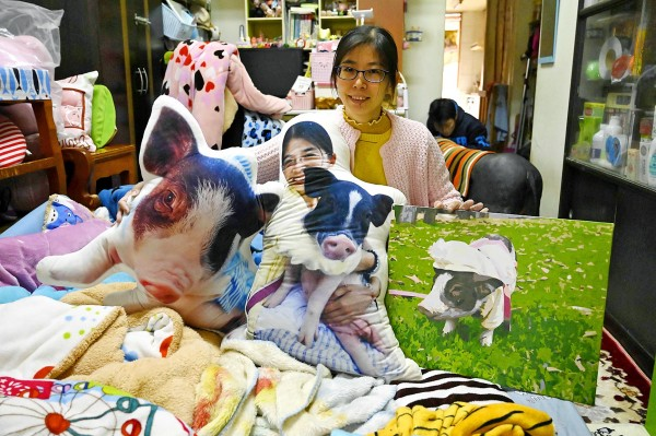 Jenny Tsai poses with pillows featuring pictures of her pet pigs in her apartment in Taichung on Jan. 27. Photo: Sam Yeh, AFP