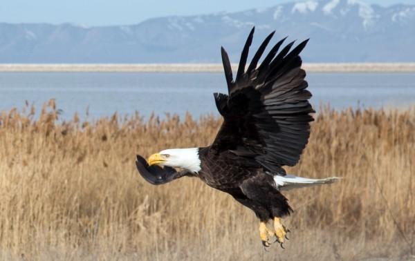 阿拉斯加一架小飛機日前遭到一頭白頭鷹撞擊後墜毀起火,機上4人全數罹難,美國國家運輸安全局指出,這是全美首次因白頭鷹撞擊所引發致死空難。(美聯社)