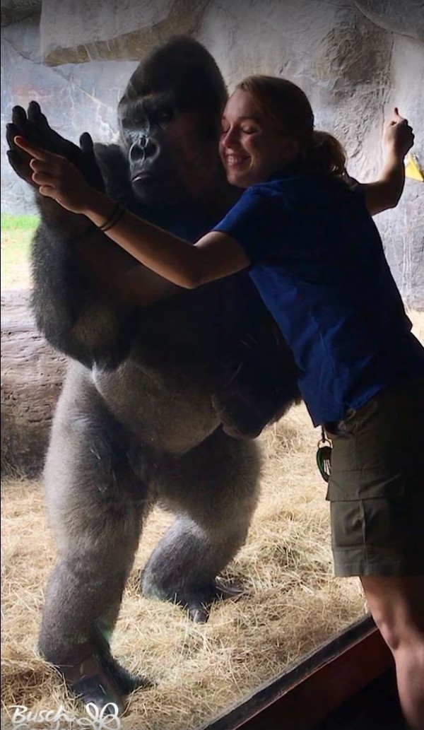 美國佛羅里達州的動物園布希花園,近日在臉書上傳了1部園內大猩猩與飼養員互動的有趣影片,除了讓許多民眾讚美可愛之外,也引來不少動保人士的議論。(翻攝自Busch Gardens Tampa Bay Facebook)