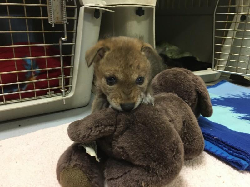 郊狼幼崽目前被送到加州動保中心照顧。(圖擷自The Fund for Animals Wildlife Center臉書)