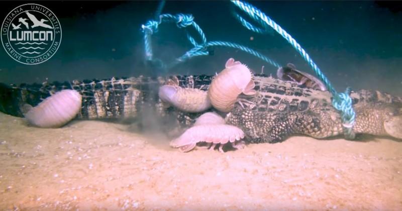 科學家首次拍到深海生物大王具足蟲啃食爬蟲類(鱷魚)的影像。(圖擷自「LUMCON」YouTube)