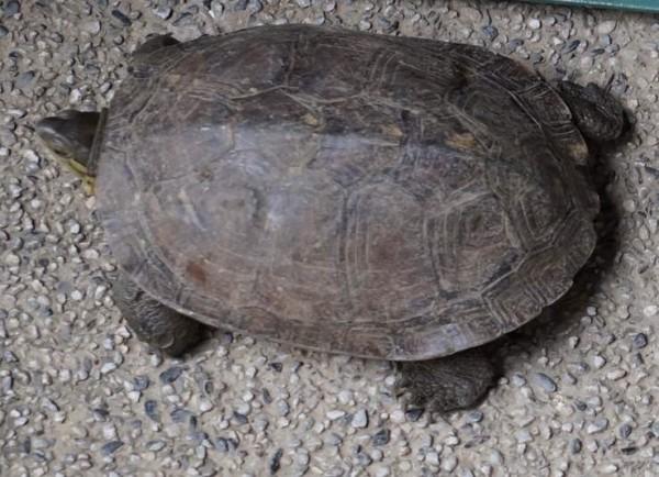 警方在齊柏林家中查獲的柴棺龜。(資料照,記者劉慶侯翻攝)