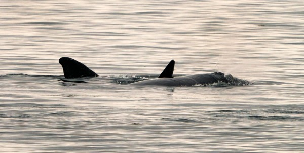 瀕臨絕種的北大西洋露脊鯨今年新生幼鯨破7隻,科學家大喜。(法新社)