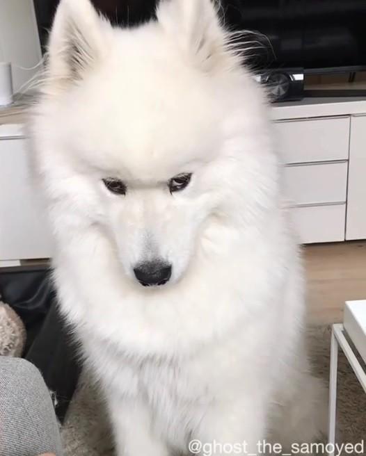 國外一隻可愛的薩摩耶犬「Ghost」臭著臉,疑似在對主人生悶氣。(圖擷取自IG)