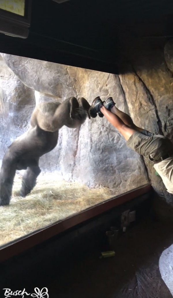 動物園布希花園中名為「博利高」的大猩猩,在布希花園上週三發布的影片中,跟隨著飼養員擺出各種不同的動作,甚至連雙腳靠著玻璃的倒立動作也難不倒牠。(翻攝自Busch Gardens Tampa Bay Facebook)