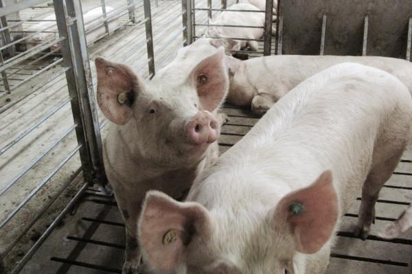 法國肉品商強調不用中國豬肉,以保證品質並維持商譽。圖為中國廣西養豬場裡的豬隻。(路透)