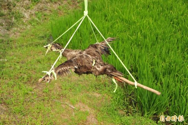 花蓮193縣道光復路段,有農民把花嘴鴨整隻連皮帶毛,撐開架在木頭十字架上,有如「鴨賞」,懸掛稻田上方示眾。(記者花孟璟攝)