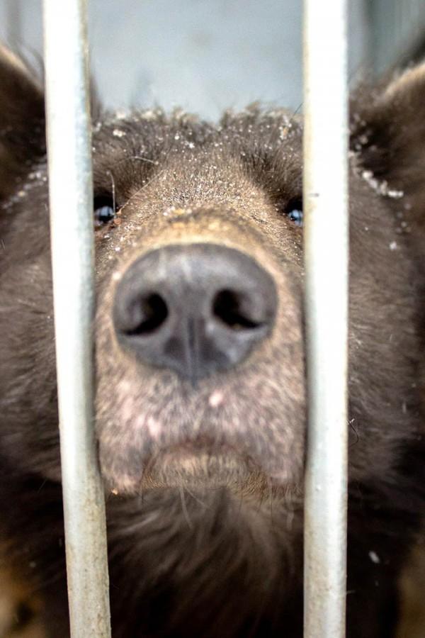 從這個角度看真的會讓人以為是棕熊。(圖擷自西伯利亞時報)