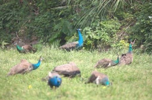 日本沖繩縣宮古島的外來種印度孔雀造成生態影響。(圖擷自きょーちん推特)
