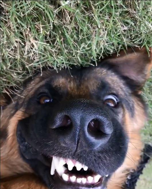 狼犬在主人接近牠時露出一張「崩壞」的滑稽臉龐。(圖擷取自IG)