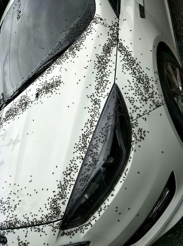 白色轎車上被上萬蒼蠅大軍攻陷,畫面令人起雞皮疙瘩。(圖擷自爆怨公社)