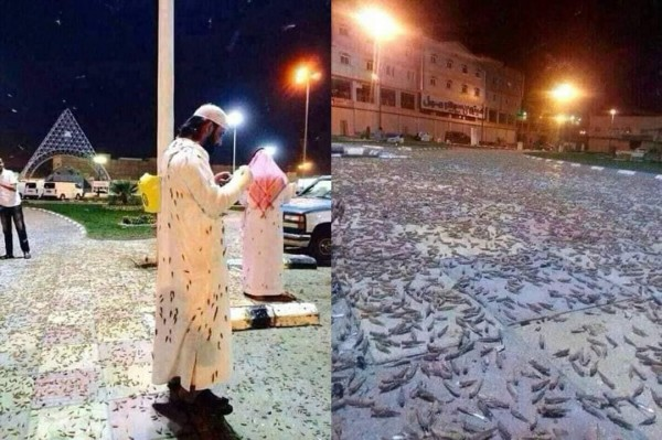 大量蝗虫侵袭麦加,不只入侵清真寺及城内许多要点,甚至停在朝圣者的衣物上。(图撷取自推特)