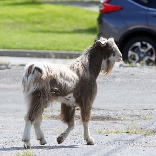 拍賣行經理懷疑,羊群逃亡事件的嫌犯是一年前的逃走的山羊弗雷德。(圖擷取自推特)
