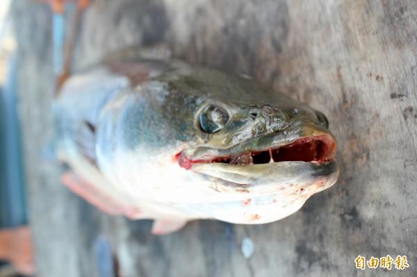 日月潭魚虎危險,漁會打算吃掉牠。(資料照)