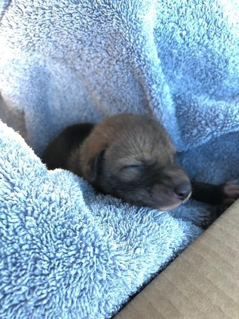美國加州遊客發現疑似被遺棄的「幼犬」,動保人員探訪時驚呼這其實是郊狼幼崽。(圖擷自San Diego Humane Society臉書)