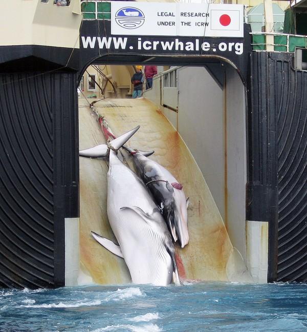 日本政府今正式宣布退出國際捕鯨委員會(IWC),重啟商業捕鯨。(法新社)