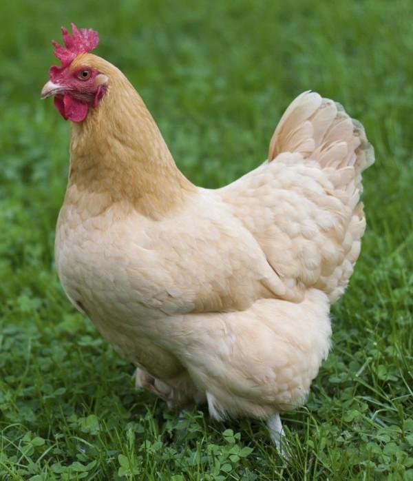巴基斯坦一名14歲的少年Mansab Ali ,偷了一隻母雞後將牠性侵致死(圖擷取自The Sun報導專頁)