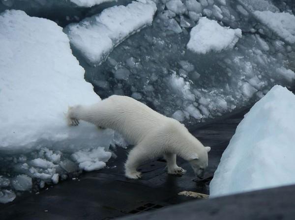 俄羅斯核潛艇德爾塔IV型日前到北極海域巡航,途中為了丟垃圾而浮出水面,沒想到吸引到1隻北極熊的注意,爬到了潛艇上想要覓食,讓120名組員只好待在船艙內。(圖擷取自推特)