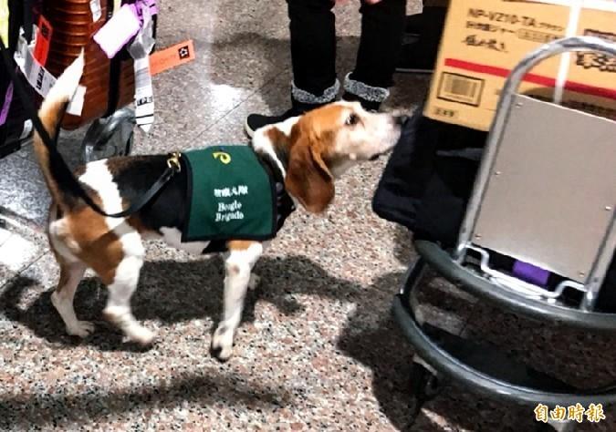 農委會表示,現在機場的檢疫犬,幾乎聞不到肉的味道,快要失業了。(資料照)