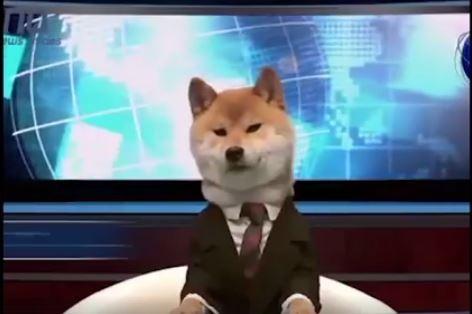 一隻名為「犬山柴男」的柴犬,身著一襲西裝亮相主播台,看起來相當專業。(圖擷取自影片)
