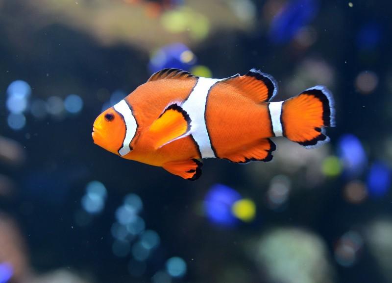 在人造光存在時小丑魚的卵孵化機率為零,完全沒有後代可活。(法新社)