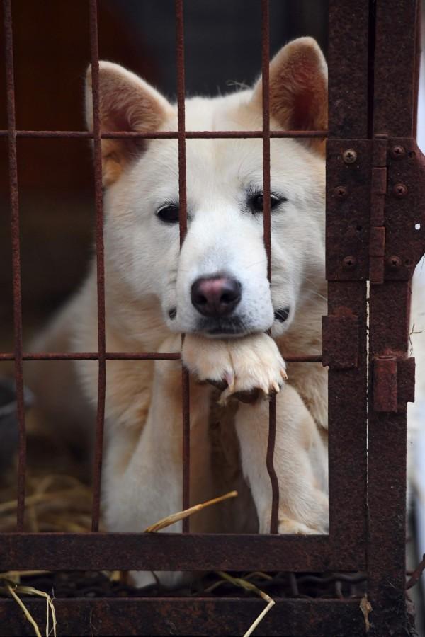 首爾市長朴元淳承諾根絕市內所有的狗肉屠宰業。圖為韓國南楊州市犬隻養殖場待援的小狗。(法新社)