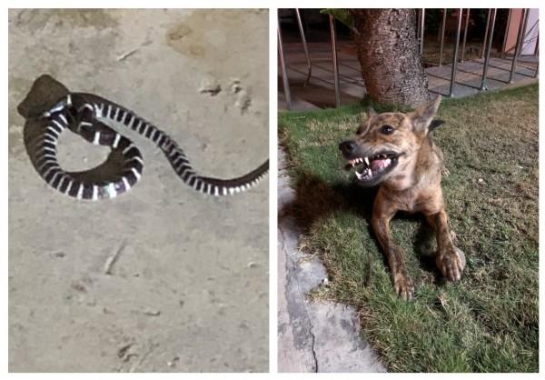警犬「小虎」(右)看到雨傘節(左)面露猙獰,奪勇將毒蛇咬死,英勇護所!(記者王捷翻攝)