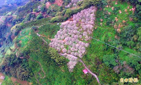南投縣國姓鄉南港村金瓜山的羅家梅園,從空中鳥瞰就像是一幅台灣地圖。(記者佟振國攝)