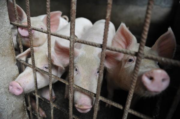 豬瘟疫情蔓延,有東莞市業者要民眾改吃其他肉類。(美聯社)
