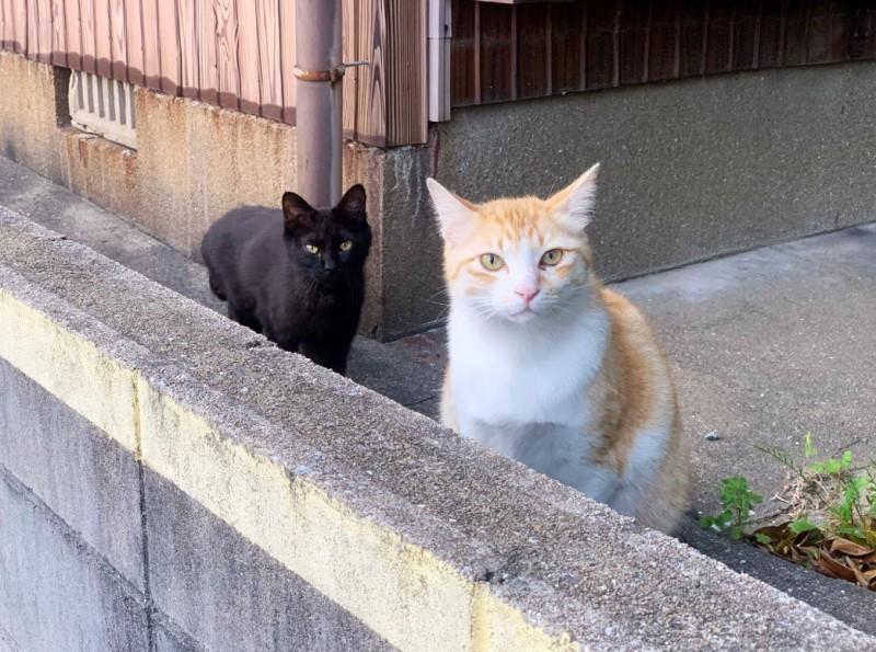 網友原本想和橘貓搭話,但發現後方的黑貓似乎不容許他再靠近。(圖擷取自推特@neohimeism)