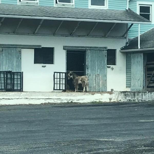 圖為逃走的弗雷德站在圍欄大門前。經理表示,曾看過牠用頭去撞圍欄。(圖擷取自臉書)