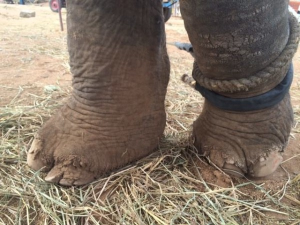 母象蘇西的腳部被鐵鍊栓得都是傷痕。(圖取自「Wildlife SOS」臉書粉絲專頁)