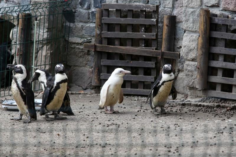 波蘭一隻罕見的3個月大白化企鵝,近日在靠近波羅的海的港口城市格但斯克一間動物園首度公開露面。(法新社)