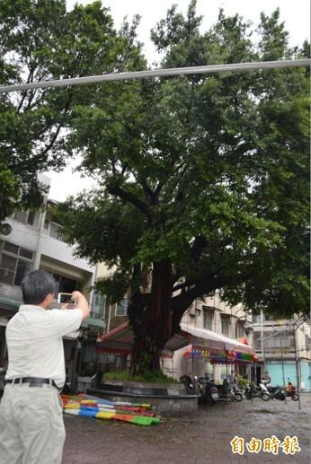 樹木醫師、中興大學園藝系副教授劉東啟(圖左)認為,樂成宮其他3株老樹,遲早也會倒塌死亡。(記者張瑞楨攝)