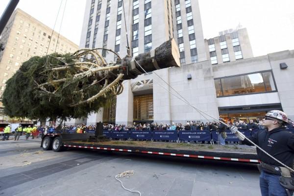挪威雲杉「Shelby」昨日已抵達紐約洛克菲勒中心。(美聯社)
