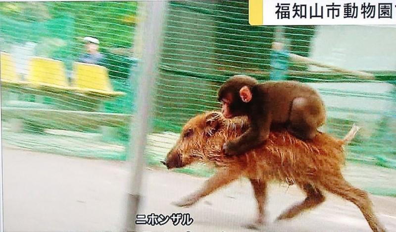 京都福知山市動物園知名日本獼猴「みわ」,和從小就飼養在一起的野豬感情很好,經常騎在豬豬背上散步,卻在上個月逃跑至今仍未找回。圖為みわ和野豬幼時相處的狀況。(圖擷自@take7700gh5fs推特)