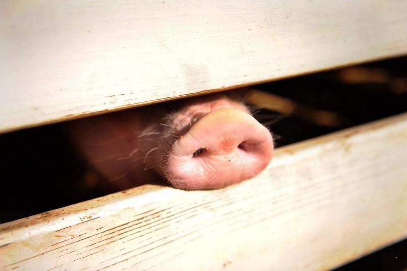 中國官方今日稱有信心應對非洲豬瘟疫情所帶來的豬肉短缺,將按計畫釋出中央為緊急狀況預備的冷凍豬肉。此為豬隻示意圖。(法新社)