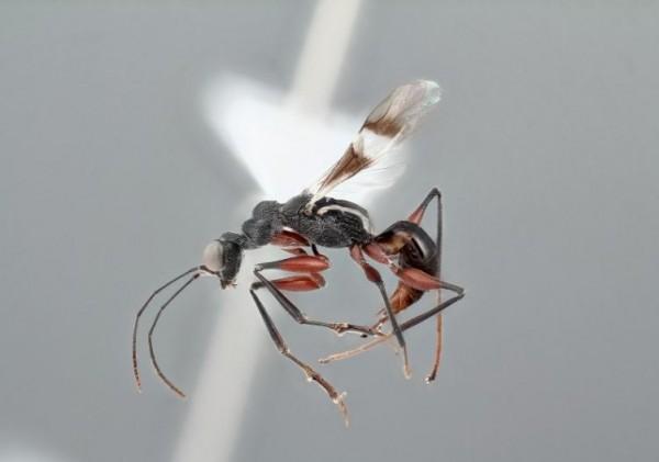 日本三重縣發現全球第2隻的罕見螯蜂,體長只有5毫米,具有鐮刀狀的前肢,且腳都呈現紅棕色。(圖擷取自每日新聞)