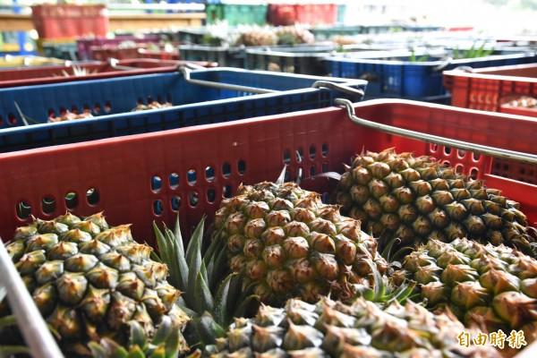 古坑集貨場內堆滿鳳梨。(記者黃淑莉攝)