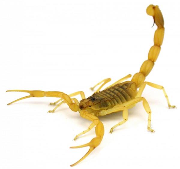 以色列金蠍(Deathstalker Scorpion)的毒液價格高昂,1公升的毒液約價值3億台幣。(法新社)