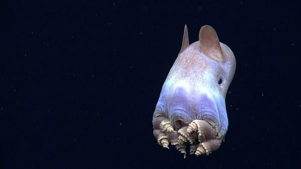 長大後的小飛象章魚。(圖擷取自「NOAA Okeanos Explorer」網站)