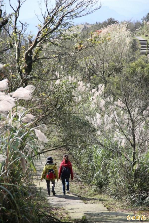 平溪五分山的步道沿著稜線打造,兩旁有芒草夾岸,步道景觀相當優美。(記者沈昱嘉攝)