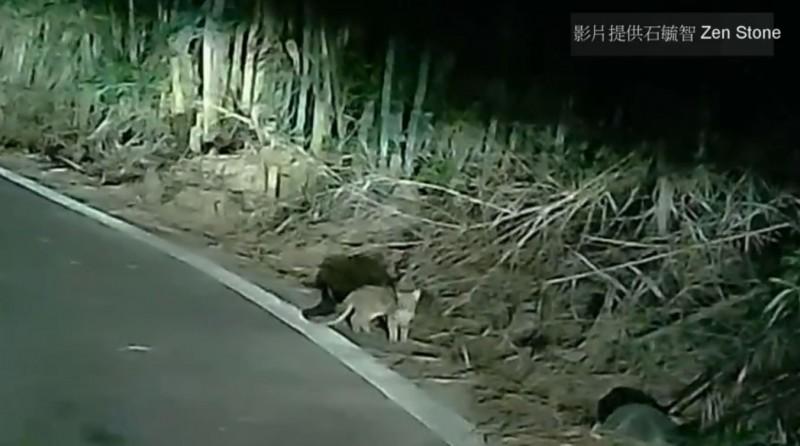 石虎看到車燈,突然呆住定格。(圖翻攝自「貓徑地圖王小明」臉書)