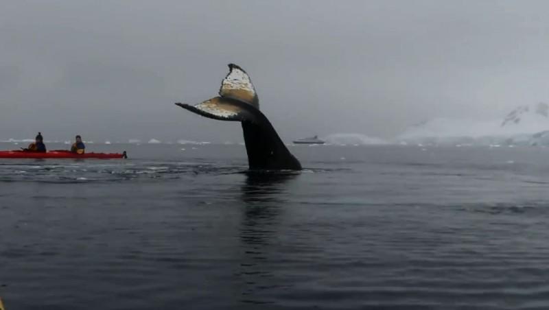 座頭鯨出現在獨木舟隊伍之中,讓網友相當震驚。(圖擷取自Luis Turi臉書)