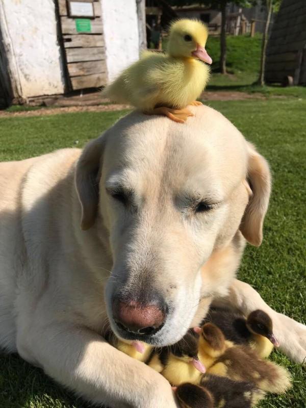 有著可愛天性的弗雷德和鴨子玩在一塊。(圖擷自ESSEX@DailyESSEX推特)