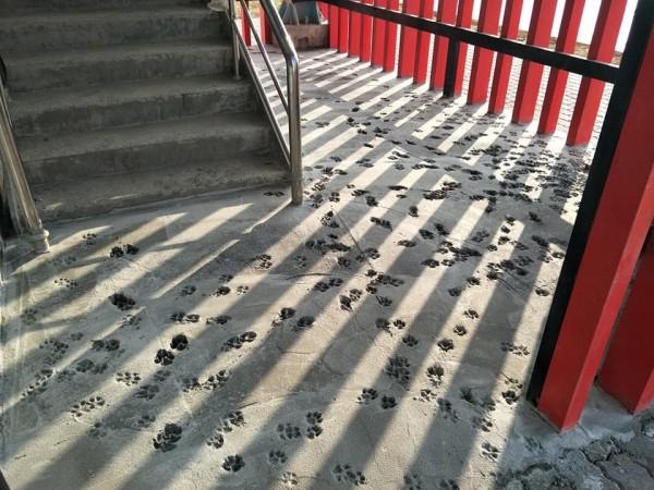 建設公司人員看見水泥地布滿狗腳印,臉都綠了。(圖擷取自爆廢公社)