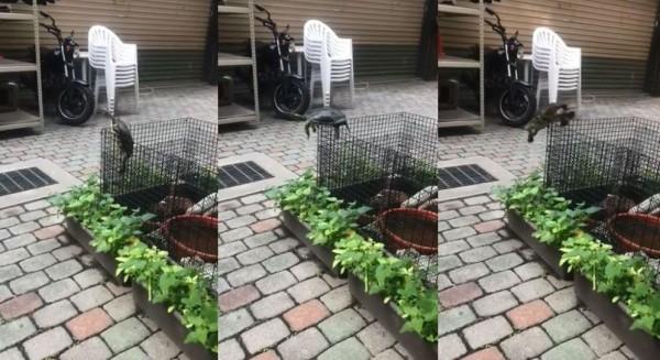 烏龜爬上鐵網卡住長達3.5分鐘,最後龜頭朝地重摔。(圖擷取自爆怨公社)