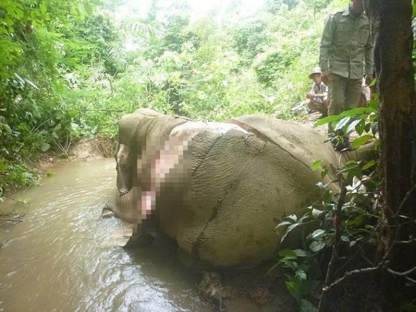 緬甸大象遭盜獵剝皮。(圖擷取自《太陽報》)