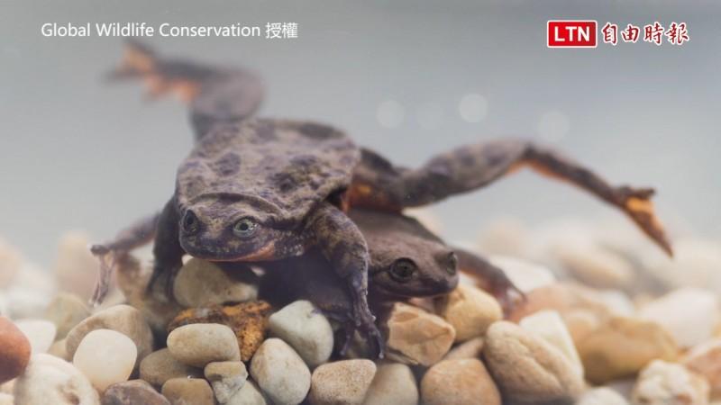 單身10年的瑟溫卡斯水蛙羅密歐終於找到女友。(圖片由Global Wildlife Conservation授權提供使用)